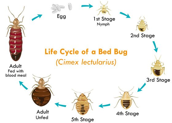 life cycle bed bugs toronto on