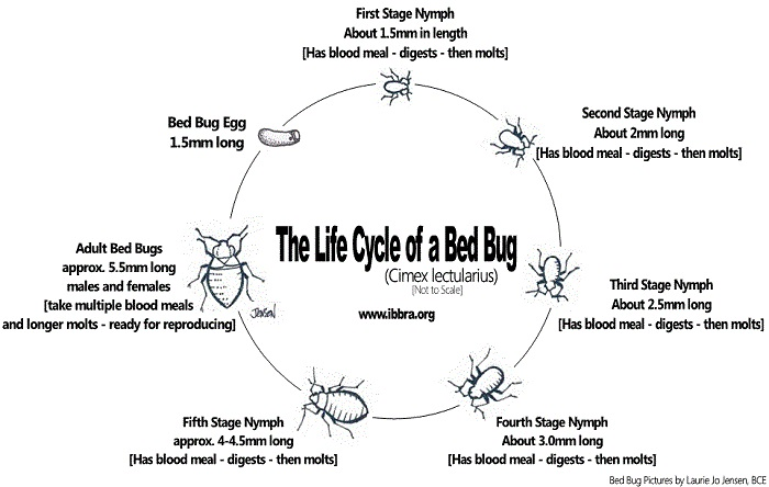 Bed Bugs Life Cycle Diagram Trusted Wiring Diagram